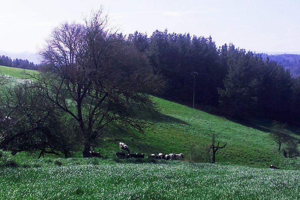 vacas-pastando-sat-seixas-xeou
